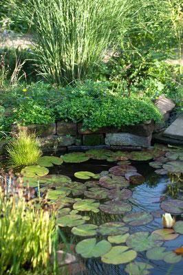 Zitronenthymian als Bodendecker an vielen sonnigen Stellen im ganzen Garten