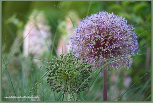 Allium 'Globemaster' mit Miscanthus sinensis 'Gracilimus' (Im Hintergrund Sämlinge von Digitalis purpurea)