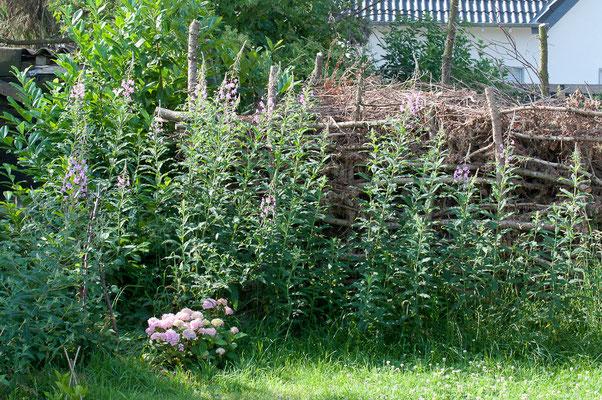 Die Weidenröschen werden vor der Hecke riesig.