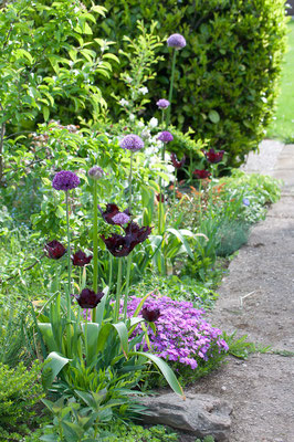 Tulpe 'Black Parrot' mit Allium 'Purple Sensation' und 'Globemaster'