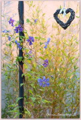 Die beiden Clematis 'Perle d'Azur' haben Zwischenlager und Umpflanzen überstanden
