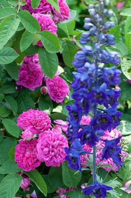 Rose de Resht mit dunklem Rittersporn