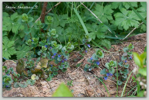 Glechoma hederacea - Gundermann - Echte Gundelrebe