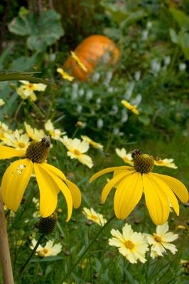 Rudbeckia nitida 'Herbstsonne' / Mädchenauge