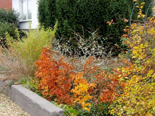 Herbstleuchtende Rotbuchenhecke