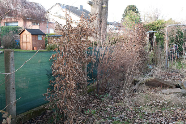 Aus unerfindlichen Gründen schneidet die Nachbarin überall die Gehölze zurück, die ihr den Blick in meinen Garten blockieren...