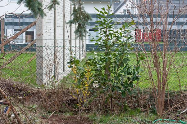 03.03. Für die frühen Insekten gibt es jetzt mehr Futter im Garten. Cornus mas - Kornelkirsche