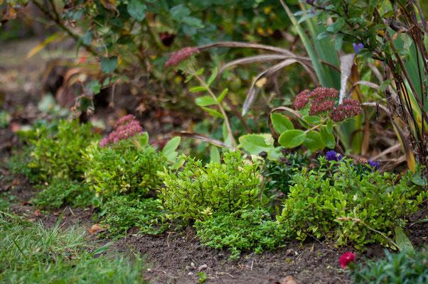 'Rotkäppchen' bekommt einen kleinen Heckenbogen aus Heckenmyrthe 'Maigrün' und Zitronenthymian.