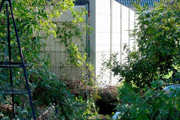 09-2017 - 2 Meter Ligusterhecke kaschieren Nachbars Bauzaun ganzjährig (irgendwann...)