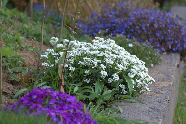 Blaukissen, Schleifenblume und Ehrenpreis