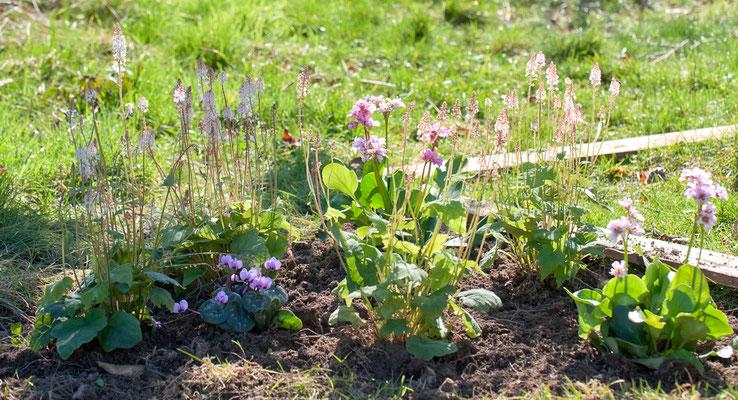 09.03.2017  Das dreieckige Beet am Sitzplatz ist mit Tiarella und Bergenie bepflanzt. Es fehlt noch die Herbstanemone