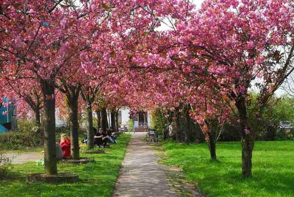 51- Mandelblüten Spalier, Weg, rosa Blüten, Bäume, Japanisch, Japan
