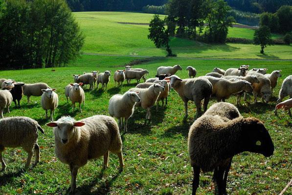 108- Schafe