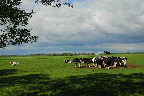 86- Kühe auf Weide, schwarz weiss