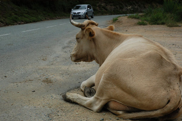 97- Kuh an der Straße, Korsika, Rind