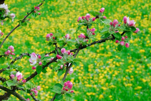 21- Apfelblüte, Ast, Apfelbaum, Blüte, Löwenzahnwiese, Wiese, Löwenzahn