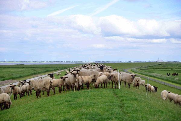 72- Schafe auf dem Deich, Deichschafe