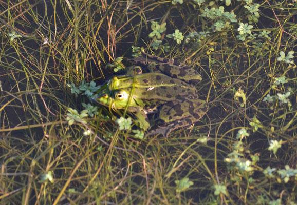 125 - Frosch im Teich.
