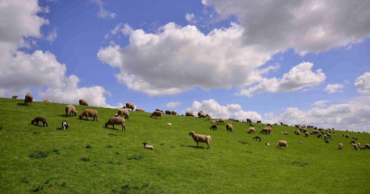 109- Schafe auf dem Deich, Niedersachsen, Nordsee, Elbe, Schleswig Holstein
