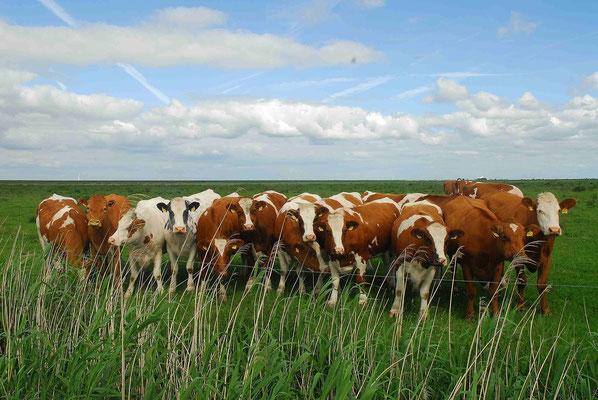 89- Kühe, braun weiss, in Reihe