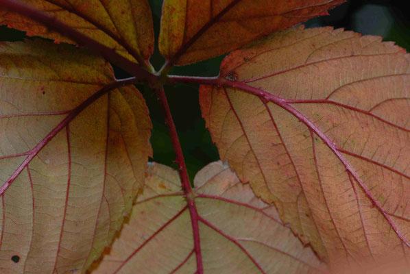 67- Blatt, Blätter, Gegenlicht, Nahaufnahme, Makro
