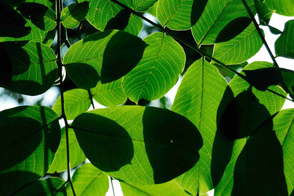 122- Kiwiblätter im Gegenlicht, Kiwi, Blätter, Laub