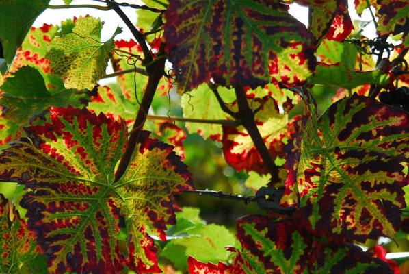 56- Weinlaub mit Herbstfärbung