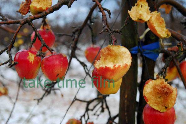 68 - Restäpfel an den Bäumen im Winter.