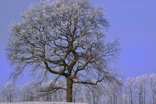 13- Baum, allein, Winter, Schnee