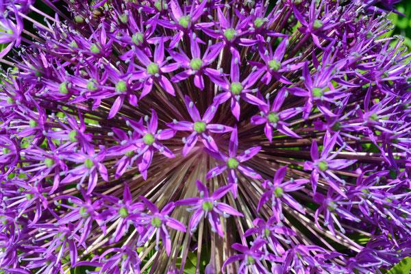 75- Allium, Sternkugellauch, Zierlauch, lila, Dolde, rund
