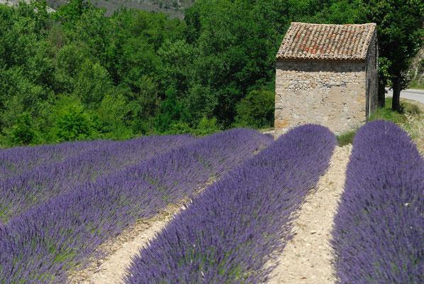 42- Lavendelfeld, Provence, Lavendel, lavande