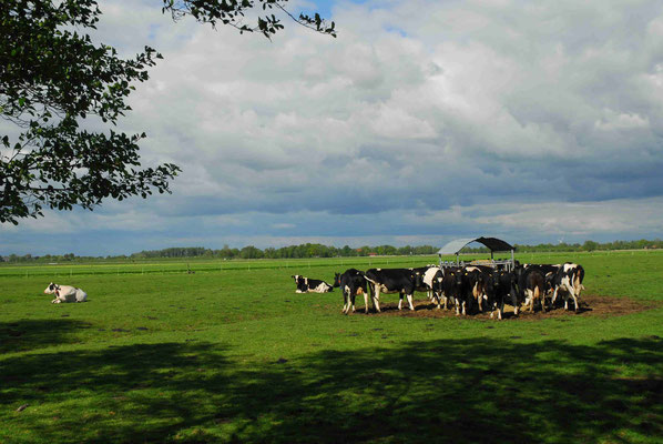 104- Kühe auf der Weide, Norddeutschland, schwarz weiss