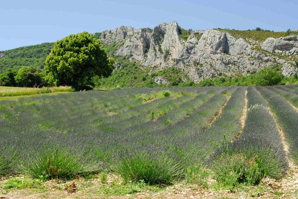 62- Lavendelfeld, Lavendel, Frankreich, Provence