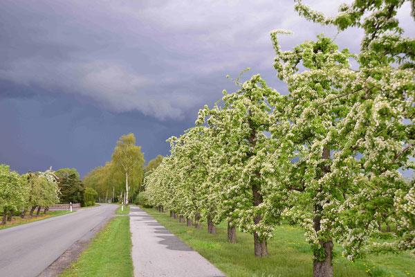 32- Birnenplantage, Altes Land, Blüte, Birnenblüte