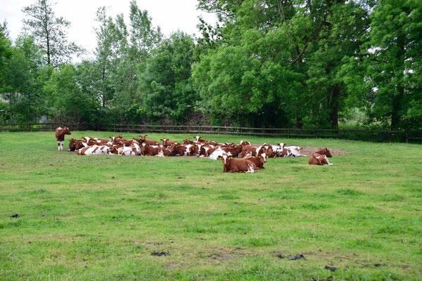 91- Kühe auf eingezäunter Weide