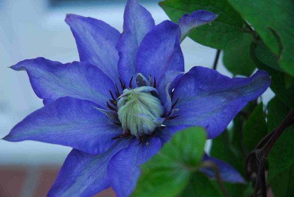 60- Celmatis, blau, Kletterpflanze, Garten, Spalier, Blüte, gross