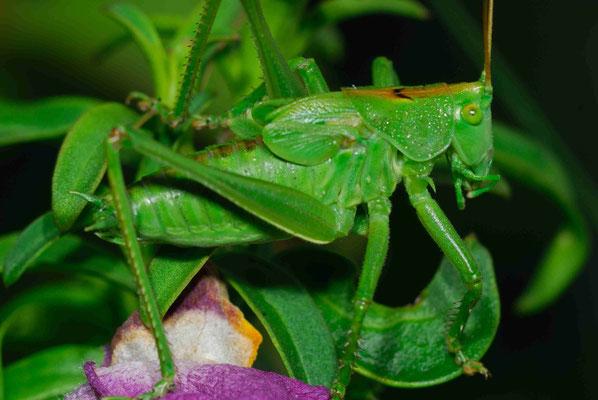 55- Heupferd, Heuschrecke, grün, gelbes Muster