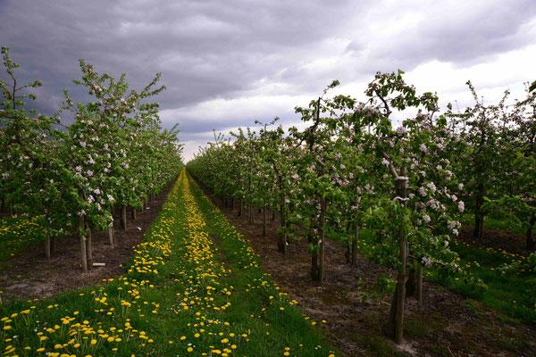 30- Apfelplantage in Blüte, Altes Land