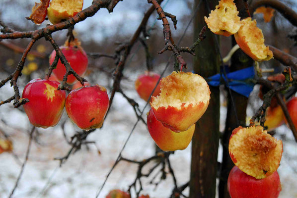17- Apfelbaum mit Äpfeln im Winter, Vogelfutter, Altes Land