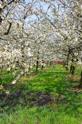 27- Apfelplantage in Blüte, Altes Land