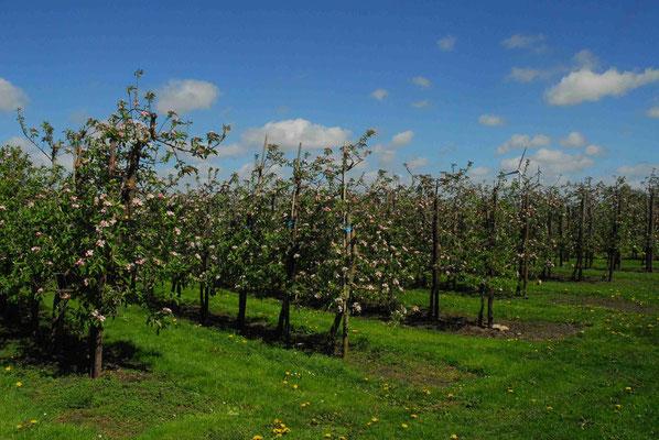 61- Apfelplantage, Apfelbäume, Blüte, Apfelblüte, Altes Land
