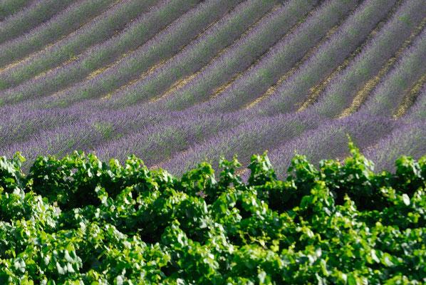 58-  Lavendelfeld, Frankreich, Wein im Vordergrund
