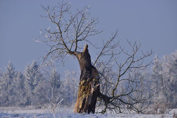 16- knorriger Baum, alter Baum, skurril, Winter