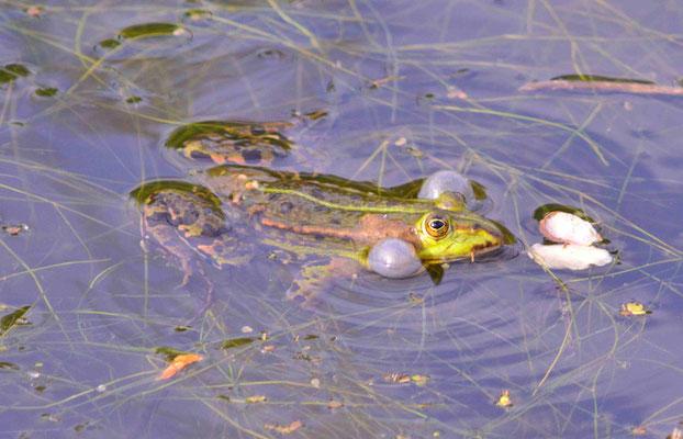 127 - Frosch beim Quaken mit dicken Backen.