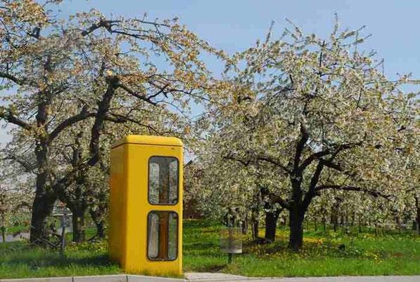 50- Apfelblüte, Apfelbaum,  alte Telefonzelle, bei Hambugr, Altes Land