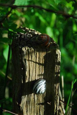 83- Schnecken an Holzpfahl
