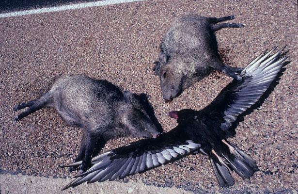 119- WIldschweine erlegt, Geier tot auf Strasse, USA