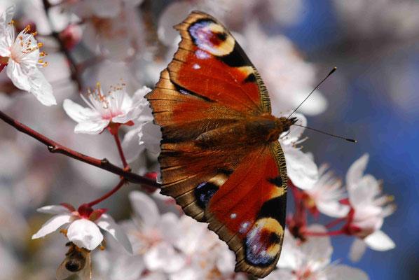 63- Tagpfauenauge, Falter, Schmetterling, auf Kirschblüte, aprikosenblüte