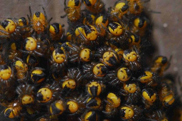 76- Spinnen, Wespenspinne, Junge, Brut, nach dem Schlüpfen, Kokon