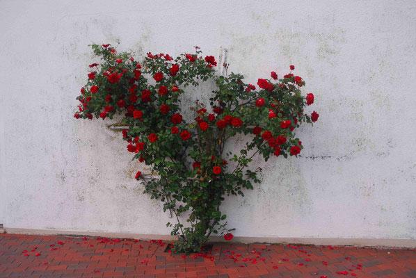 62- Kletterrose, weisse Wand, rot, Blüten, Rose, Spalier